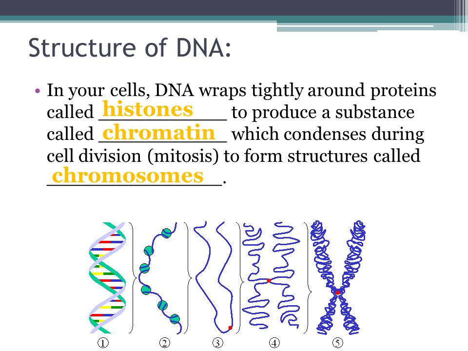 Structure of DNA: In your cells, DNA wraps tightly around proteins called ___________ to produce a substance called ___________ which condenses during