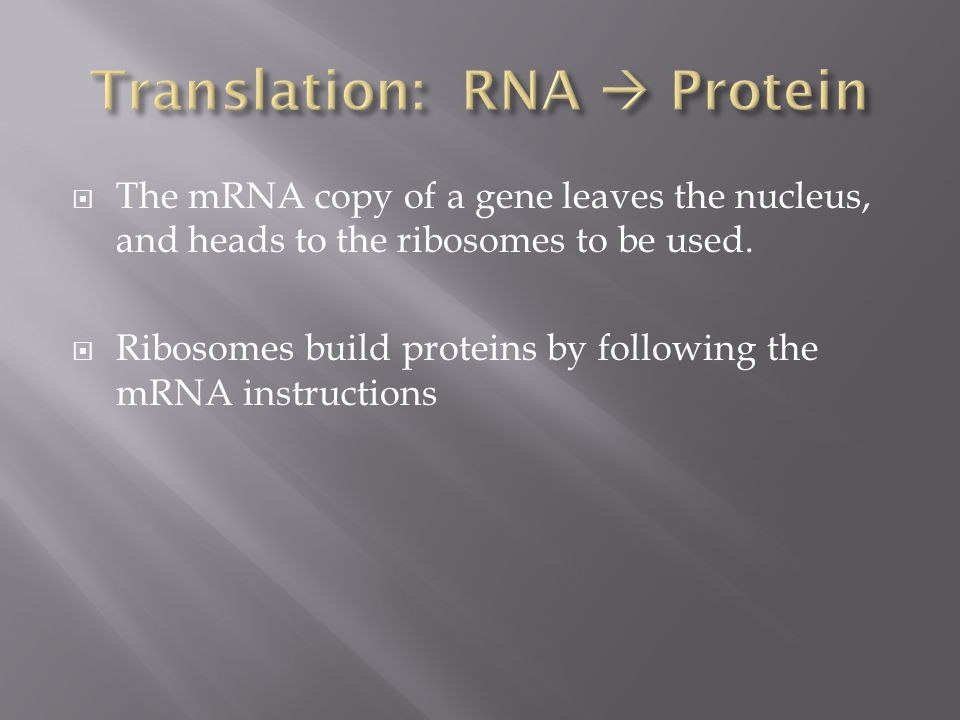  The mRNA copy of a gene leaves the nucleus, and heads to the ribosomes to be used.