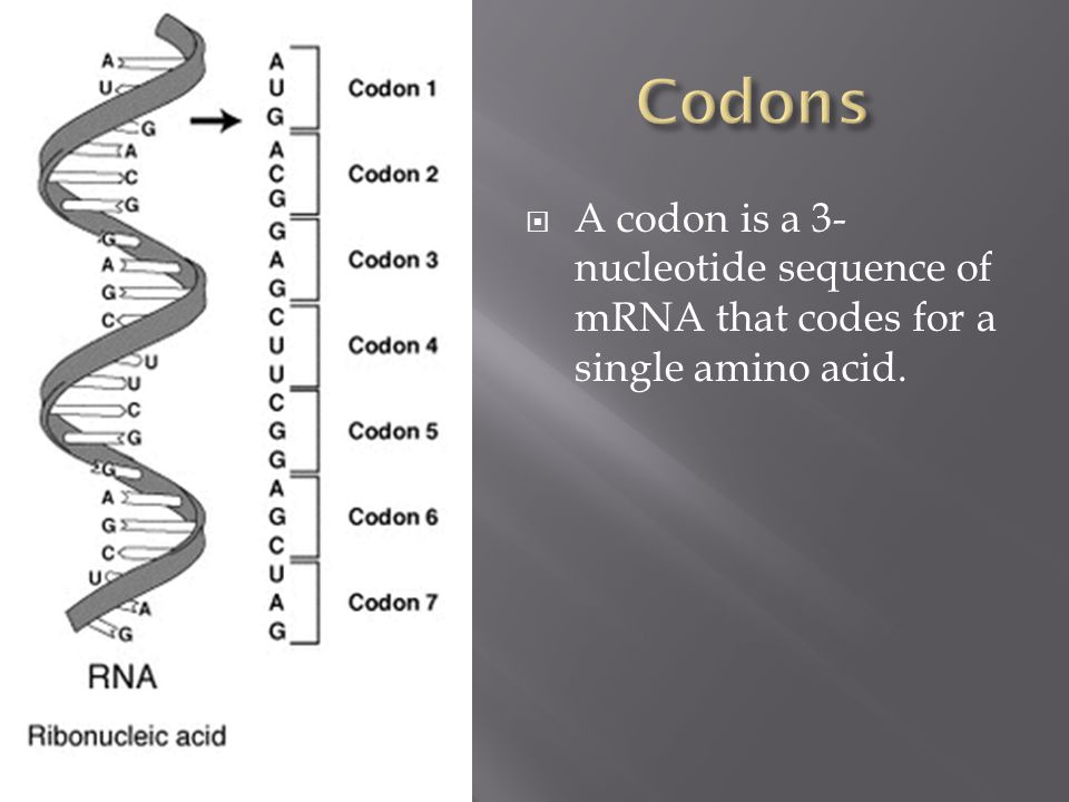  A codon is a 3- nucleotide sequence of mRNA that codes for a single amino acid.