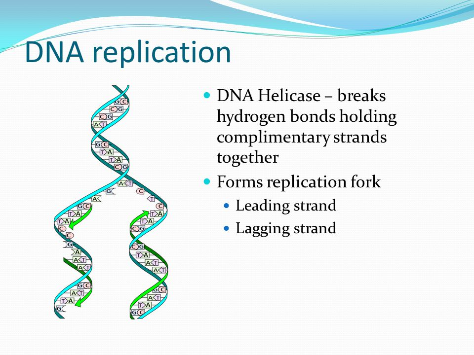 DNA Replication DNA is read 5' to 3'