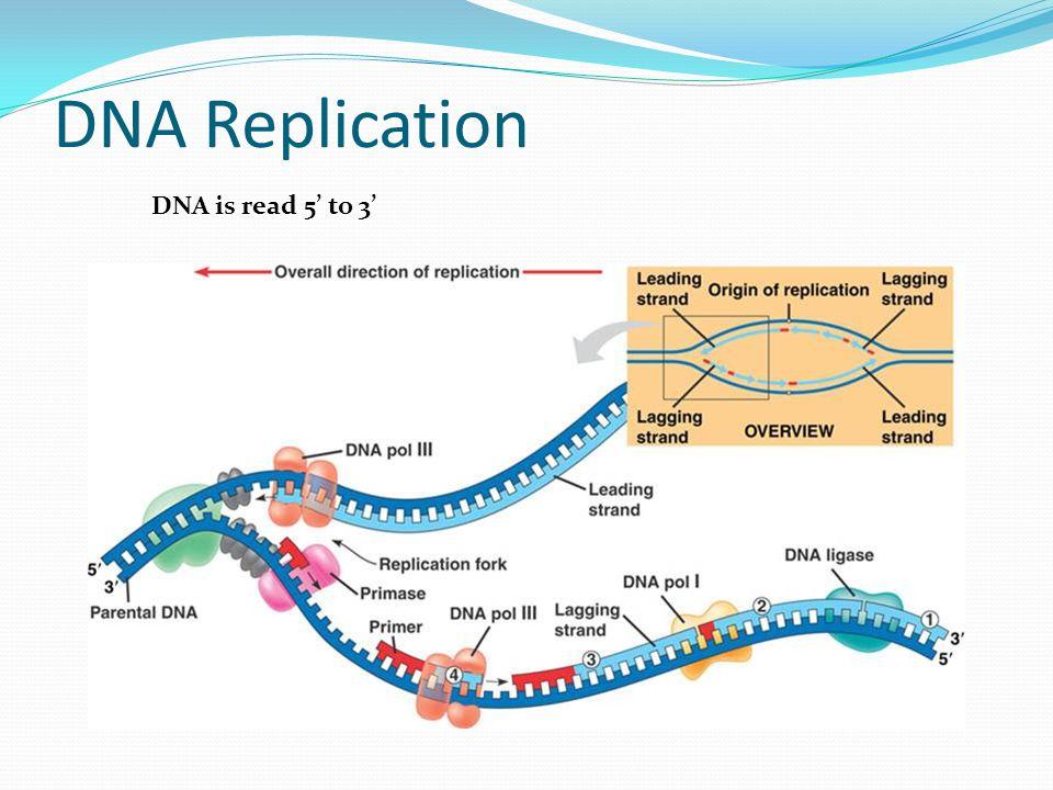 Translation mRNA -> tRNA -> amino acids -> proteins