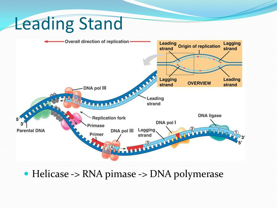 Leading Stand Helicase -> RNA pimase -> DNA polymerase