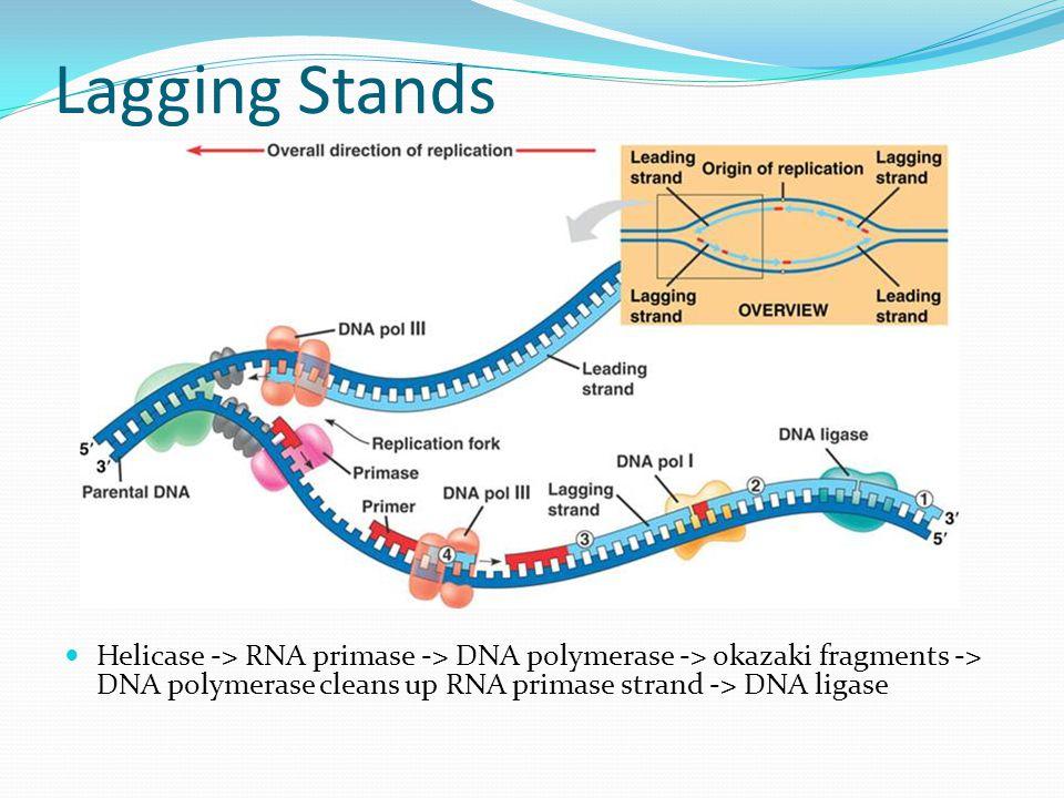 Lagging Stands Helicase -> RNA primase -> DNA polymerase -> okazaki fragments -> DNA polymerase cleans up RNA primase strand -> DNA ligase