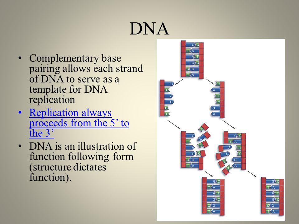 DNA Complementary base pairing allows each strand of DNA to serve as a template for DNA replication Replication always proceeds from the 5' to the 3' DNA is an illustration of function following form (structure dictates function).
