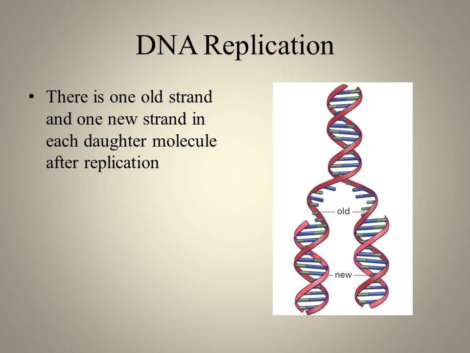 DNA Replication There is one old strand and one new strand in each daughter molecule after replication