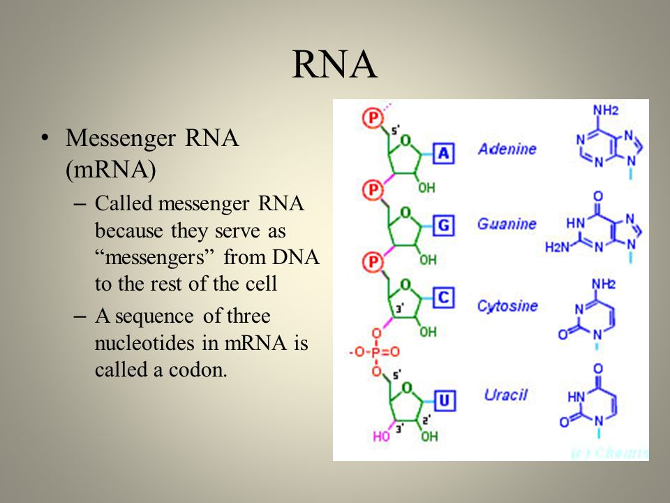 RNA Messenger RNA (mRNA) – Called messenger RNA because they serve as messengers from DNA to the rest of the cell – A sequence of three nucleotides in mRNA is called a codon.
