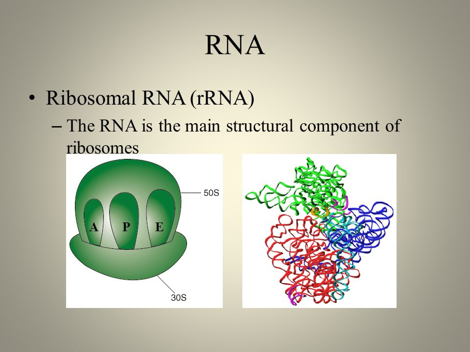 RNA Ribosomal RNA (rRNA) – The RNA is the main structural component of ribosomes APE