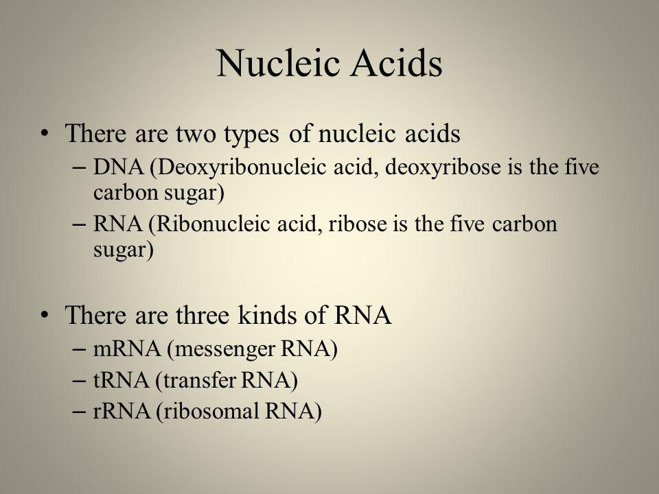 Nucleic Acids There are two types of nucleic acids – DNA (Deoxyribonucleic acid, deoxyribose is the five carbon sugar) – RNA (Ribonucleic acid, ribose is the five carbon sugar) There are three kinds of RNA – mRNA (messenger RNA) – tRNA (transfer RNA) – rRNA (ribosomal RNA)