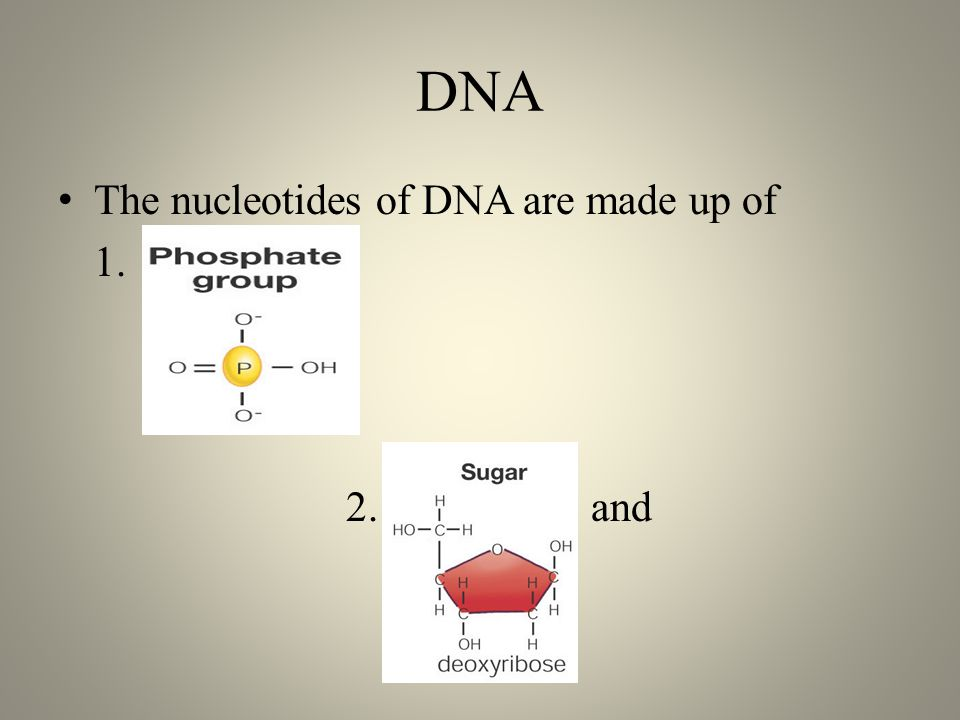 DNA The nucleotides of DNA are made up of 1. 2. and