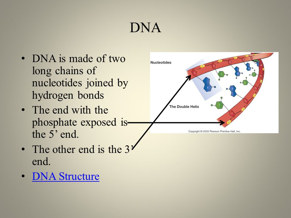 DNA DNA is made of two long chains of nucleotides joined by hydrogen bonds The end with the phosphate exposed is the 5' end.
