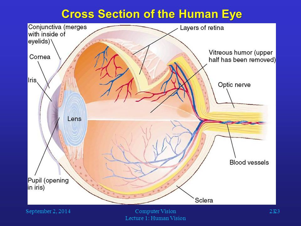 Cross Section of the Human Eye September 2, 2014Computer Vision Lecture 1: Human Vision 23