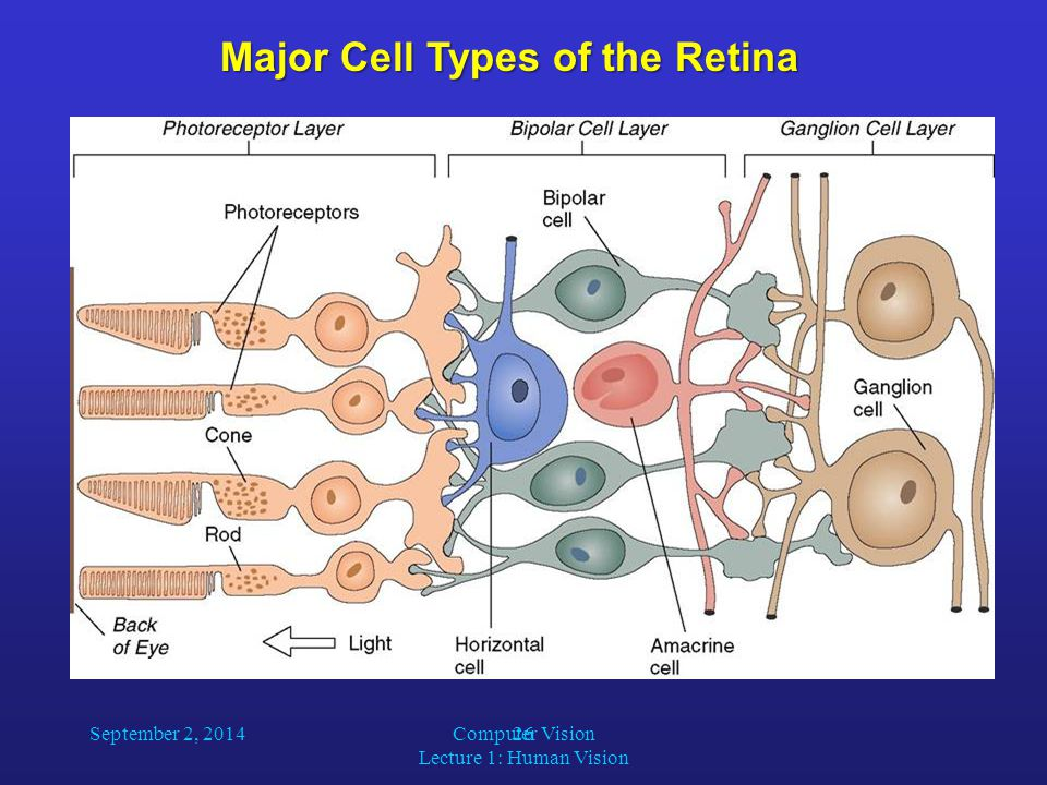 26 Major Cell Types of the Retina September 2, 2014Computer Vision Lecture 1: Human Vision