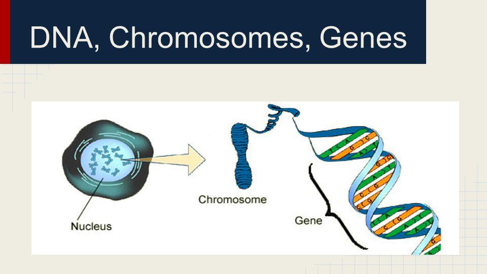 DNA, Chromosomes, Genes