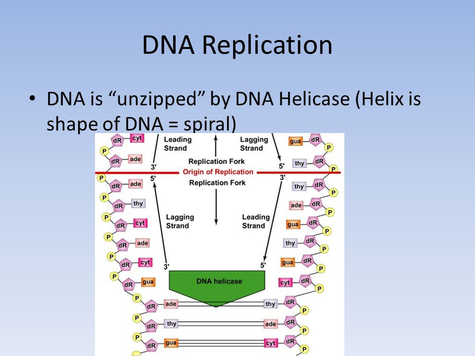 DNA Replication DNA is unzipped by DNA Helicase (Helix is shape of DNA = spiral)
