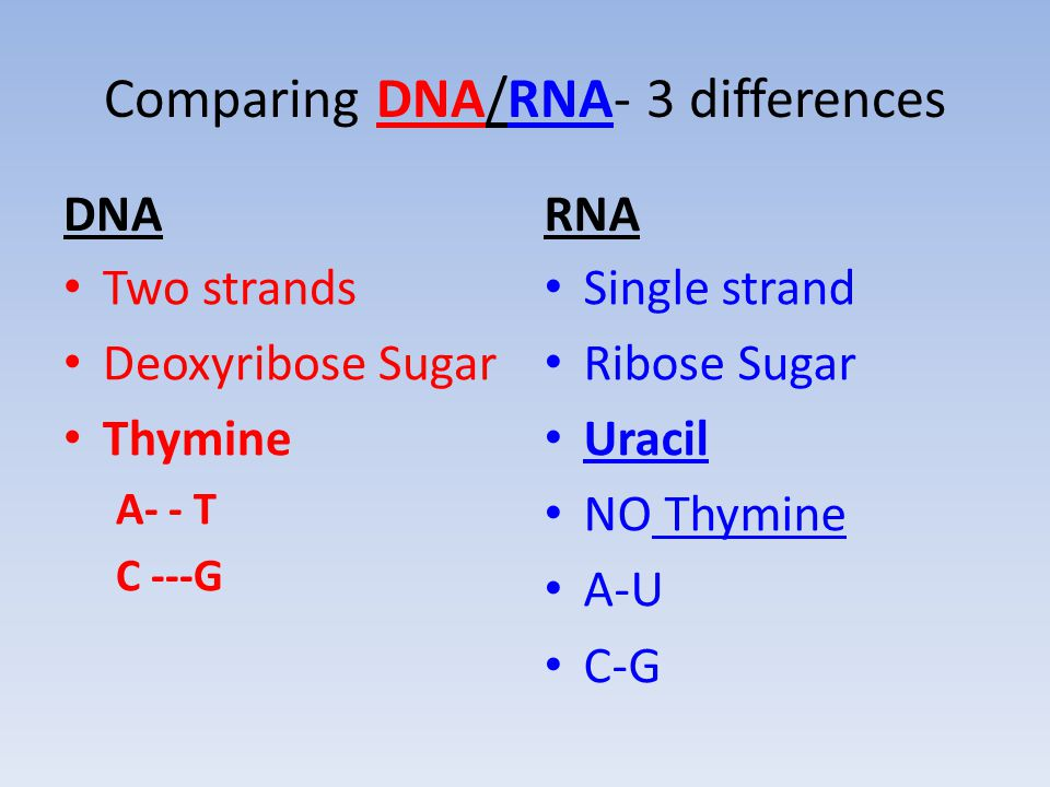 Comparing DNA/RNA- 3 differences DNA Two strands Deoxyribose Sugar Thymine A- - T C ---G RNA Single strand Ribose Sugar Uracil NO Thymine A-U C-G