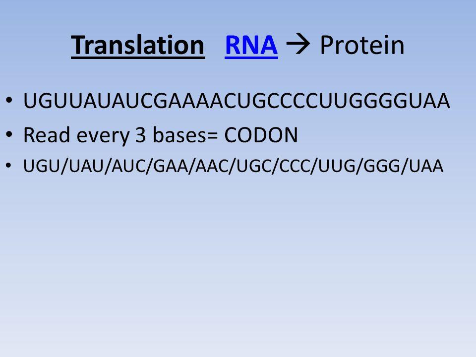 Translation RNA  Protein UGUUAUAUCGAAAACUGCCCCUUGGGGUAA Read every 3 bases= CODON UGU/UAU/AUC/GAA/AAC/UGC/CCC/UUG/GGG/UAA