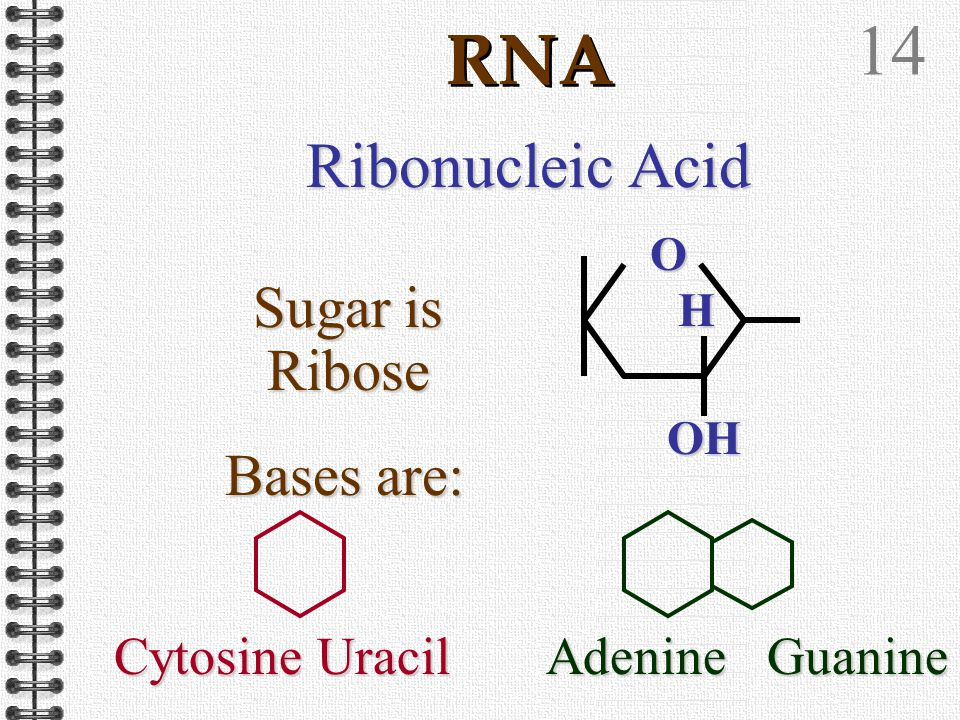 13 DNA Base pairing is complimentary Adenine Thymine The bonds are hydrogen bonds Guanine Cytosine