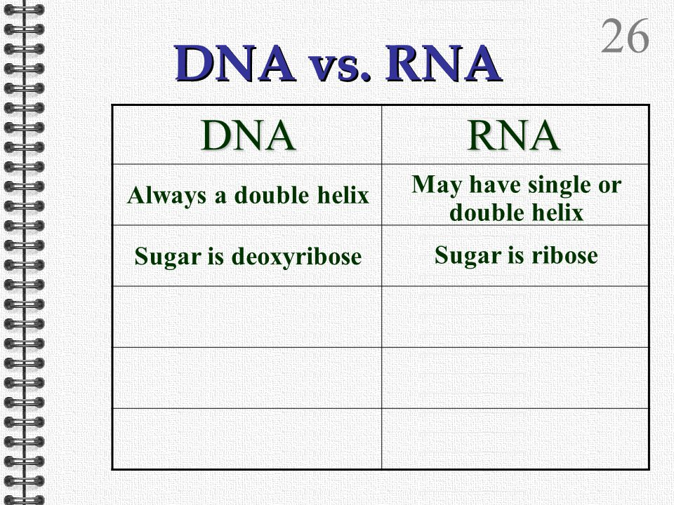 25 DNA vs. RNA DNARNA Always a double helix May have single or double helix