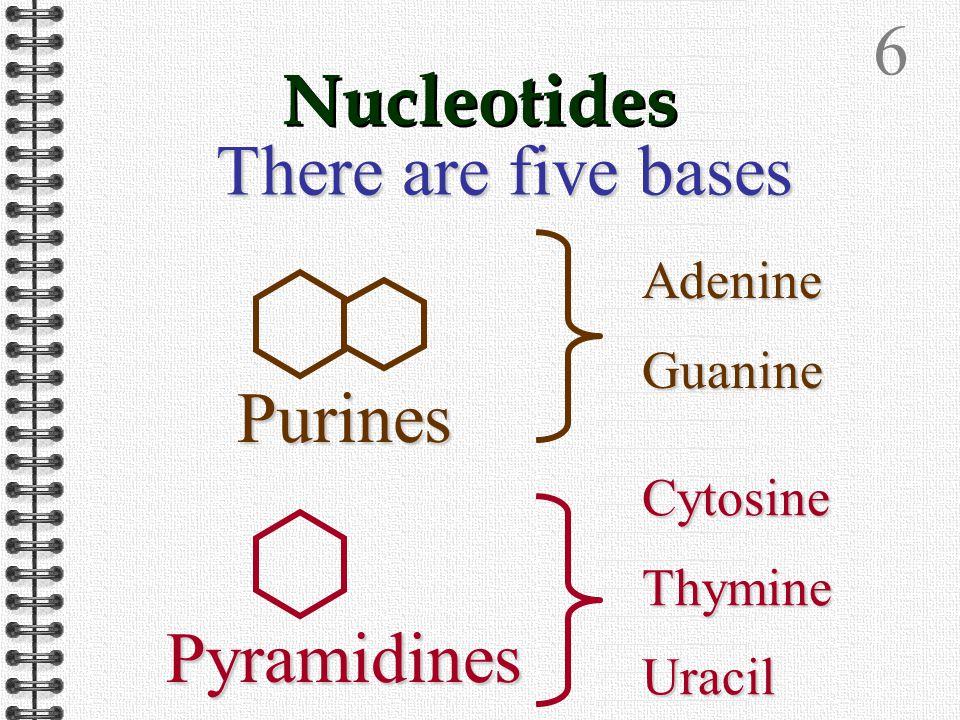 5 The pentose sugar may be either Ribose (RNA) or Deoxyribose (DNA)OO OHHHHRiboseDeoxyribose