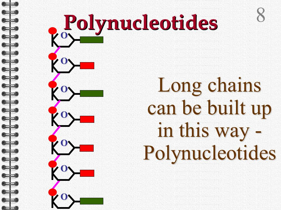 7 Polynucleotides Bonds can form between carbon 3 of the pentose sugar and the phosphate group on carbon 5 of an adjacent nucleotide O O