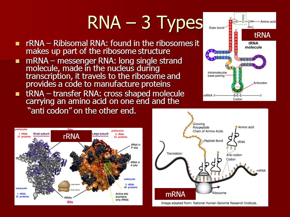 RNA – 3 Types rRNA – Ribisomal RNA: found in the ribosomes it makes up part of the ribosome structure rRNA – Ribisomal RNA: found in the ribosomes it