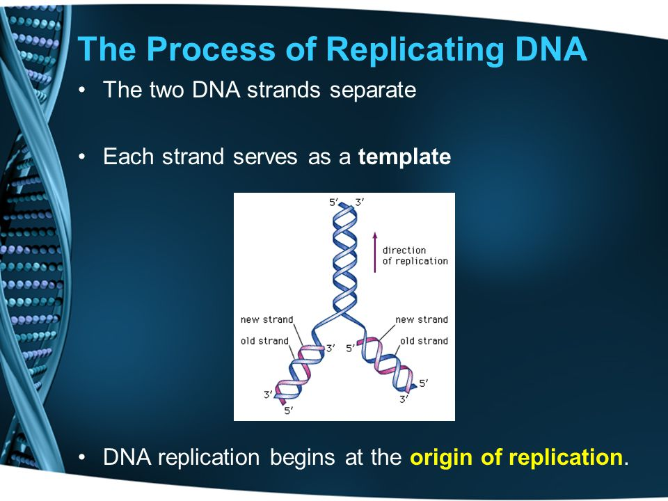 The Process of Replicating DNA The two DNA strands separate Each strand serves as a template DNA replication begins at the origin of replication.