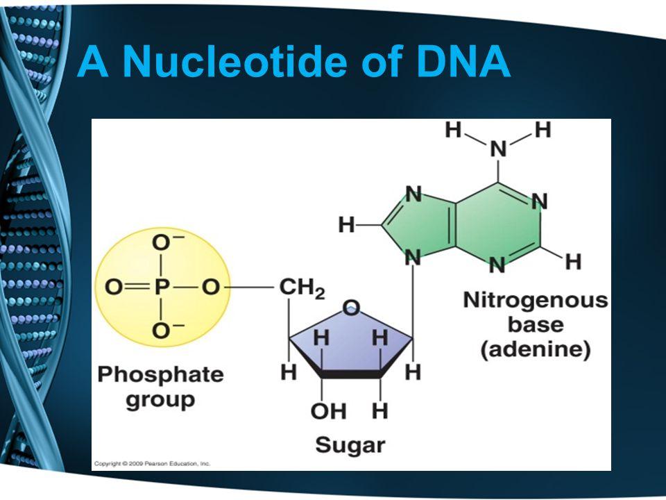 A Nucleotide of DNA