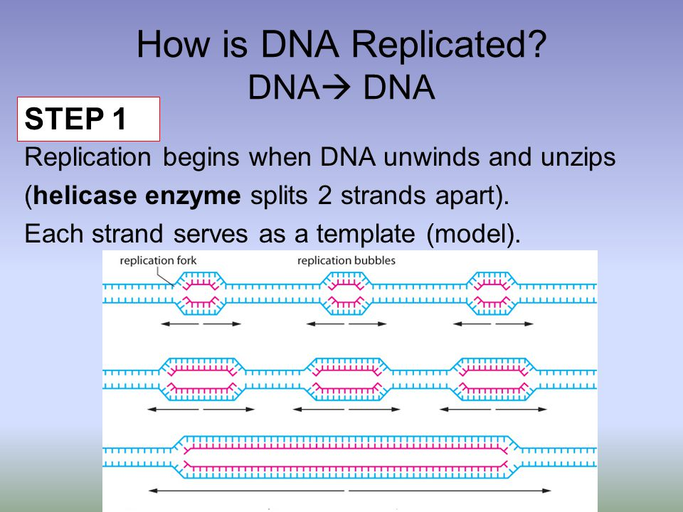 How is DNA Replicated.