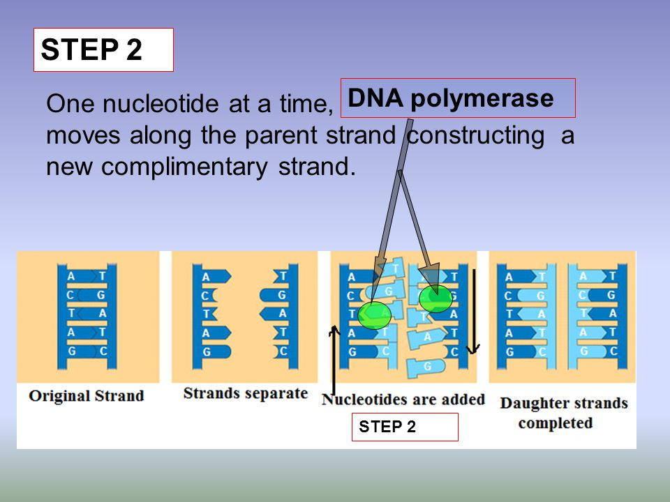 STEP 2 One nucleotide at a time, moves along the parent strand constructing a new complimentary strand. STEP 2 DNA polymerase