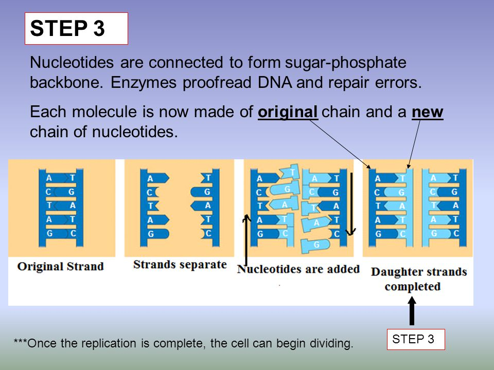 STEP 3 Nucleotides are connected to form sugar-phosphate backbone. Enzymes proofread DNA and repair errors. Each molecule is now made of original chai