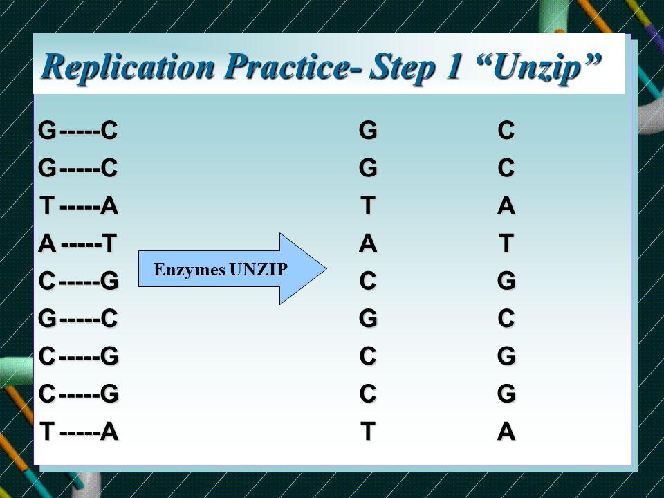 Replication Practice- Step 1 Unzip GG T A C G C C T-----C-----C -----A -----T -----G -----C -----G -----G -----A Enzymes UNZIPGG T A C G C C TCC A T G C G G A