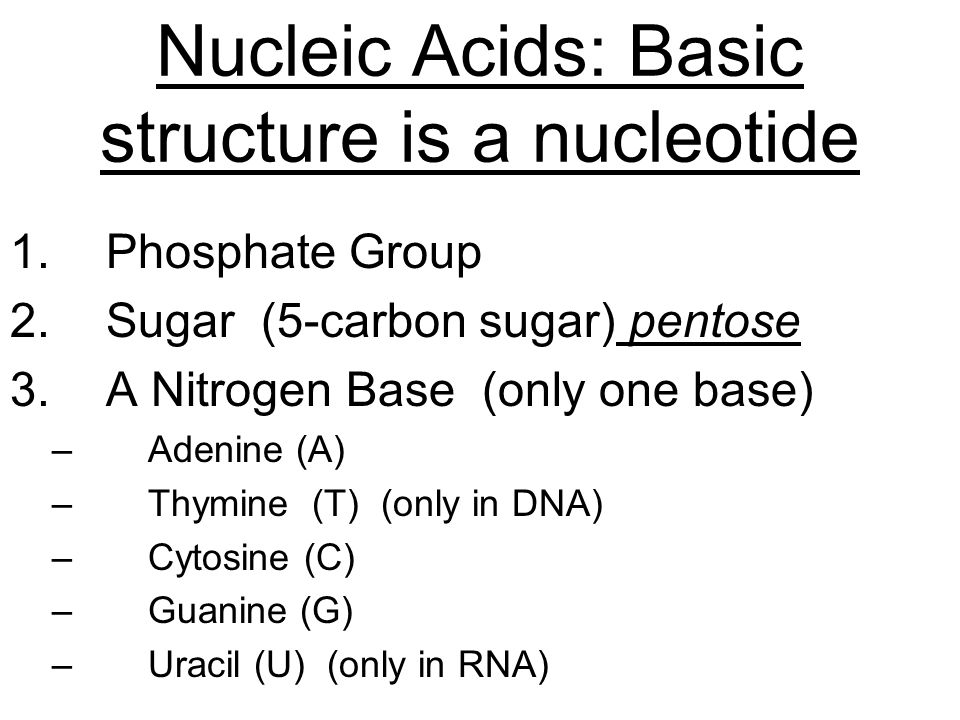 Nucleic Acids: Basic structure is a nucleotide 1.Phosphate Group 2.Sugar (5-carbon sugar) pentose 3.A Nitrogen Base (only one base) –Adenine (A) –Thymine (T) (only in DNA) –Cytosine (C) –Guanine (G) –Uracil (U) (only in RNA)