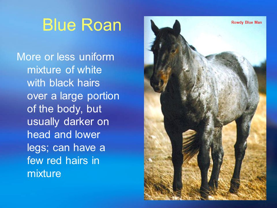 Blue Roan More or less uniform mixture of white with black hairs over a large portion of the body, but usually darker on head and lower legs; can have a few red hairs in mixture Rowdy Blue Man