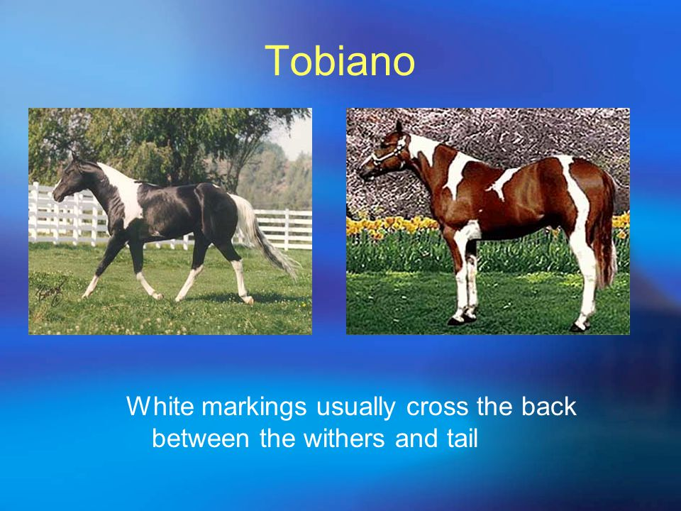 Tobiano White markings usually cross the back between the withers and tail