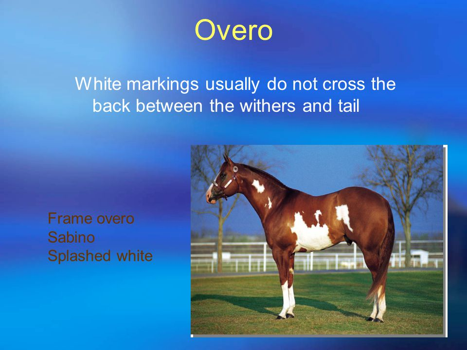 Overo White markings usually do not cross the back between the withers and tail Frame overo Sabino Splashed white