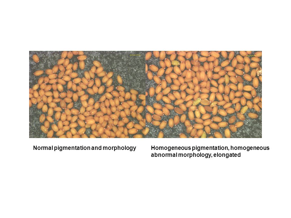 Homogeneous pigmentation, homogeneous abnormal morphology, elongated Normal pigmentation and morphology