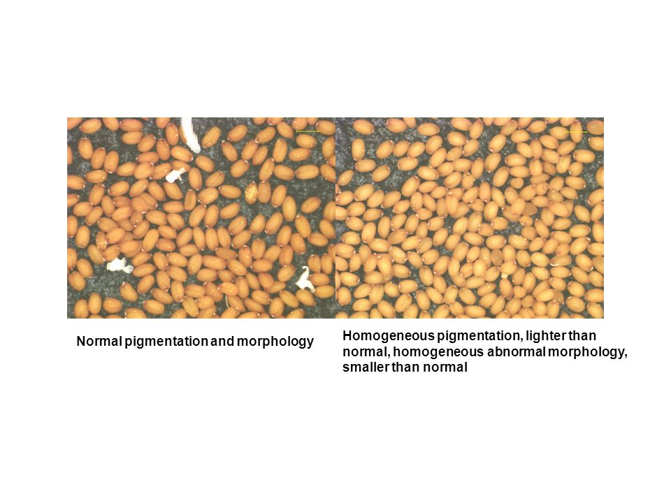 Homogeneous pigmentation, lighter than normal, homogeneous abnormal morphology, smaller than normal