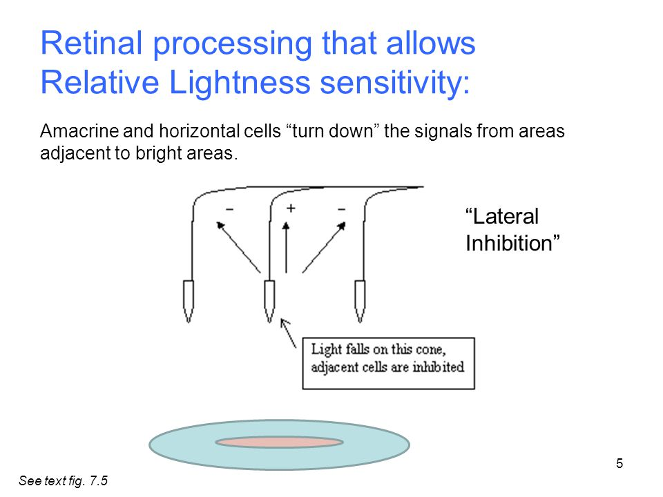 Retinal processing that allows Relative Lightness sensitivity: Amacrine and horizontal cells turn down the signals from areas adjacent to bright areas.