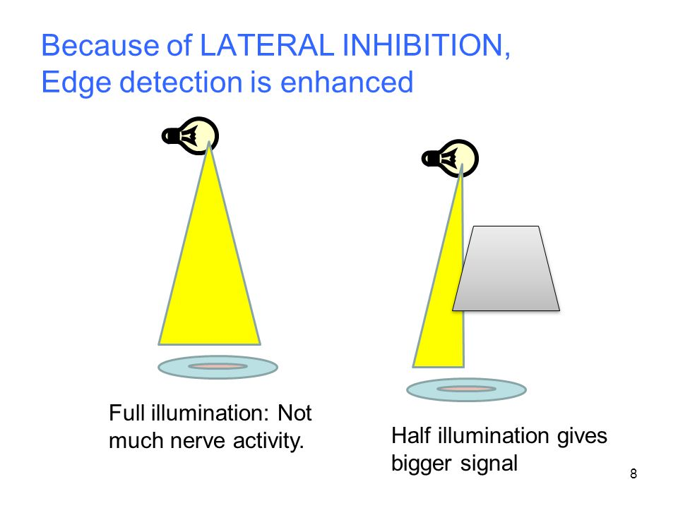 Because of LATERAL INHIBITION, Edge detection is enhanced 8 Half illumination gives bigger signal Full illumination: Not much nerve activity.