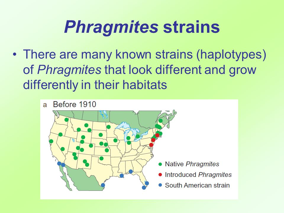 Phragmites strains There are many known strains (haplotypes) of Phragmites that look different and grow differently in their habitats