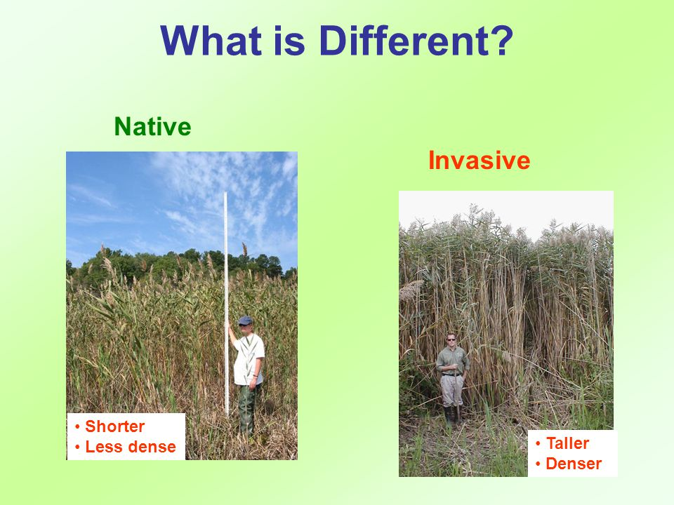 What is Different Native Invasive Shorter Less dense Taller Denser