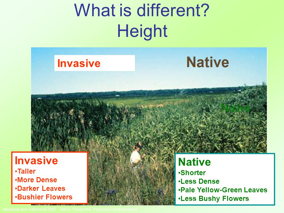 What is different. Height Native Invasive Meadows and Saltonstall 2003.