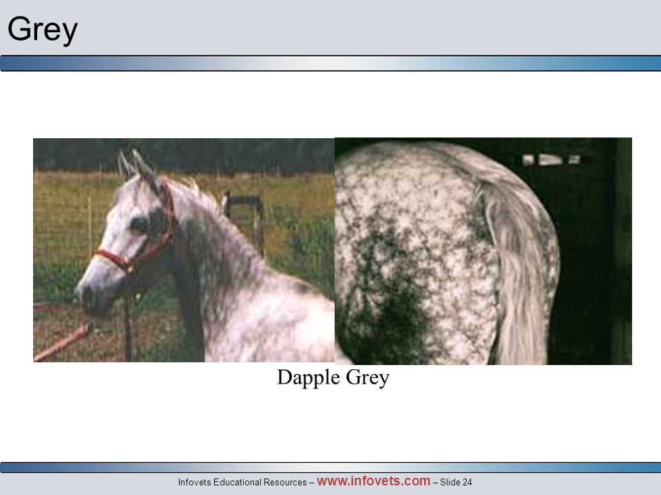 Infovets Educational Resources – www.infovets.com – Slide 24 Grey Dapple Grey