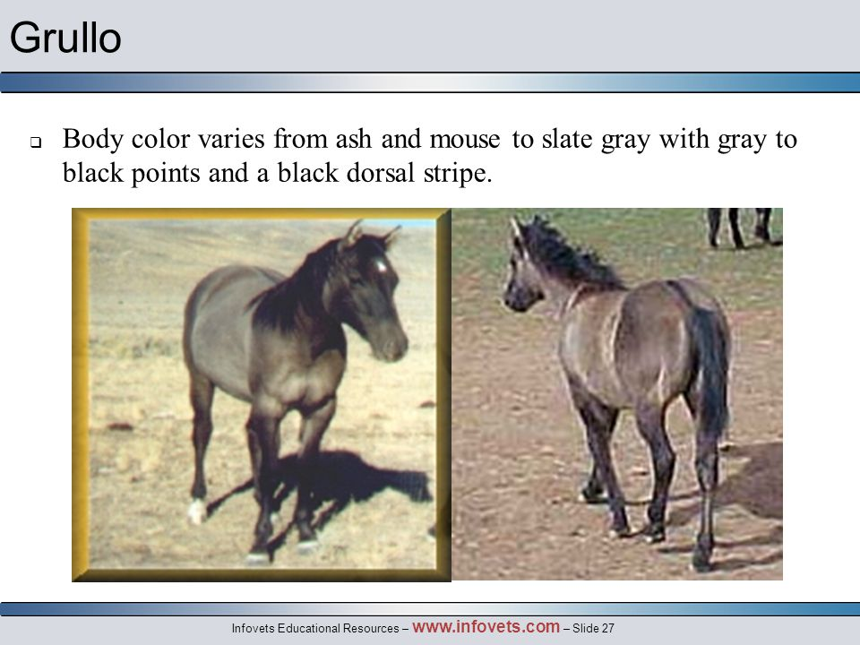 Infovets Educational Resources – www.infovets.com – Slide 27 Grullo  Body color varies from ash and mouse to slate gray with gray to black points and a black dorsal stripe.