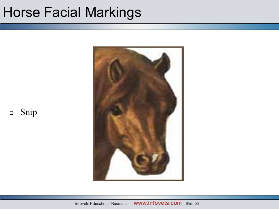 Infovets Educational Resources – www.infovets.com – Slide 39 Horse Facial Markings  Snip