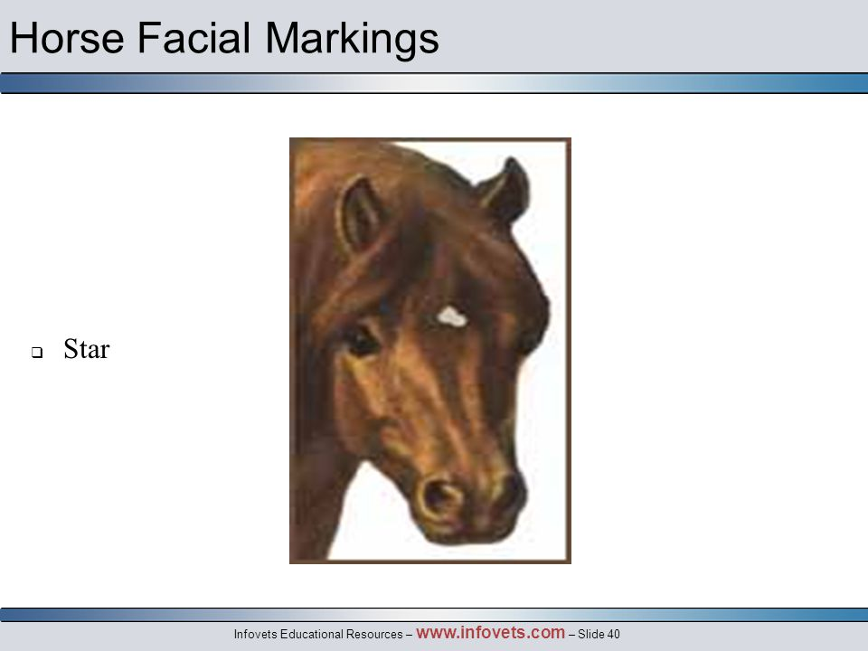 Infovets Educational Resources – www.infovets.com – Slide 40 Horse Facial Markings  Star