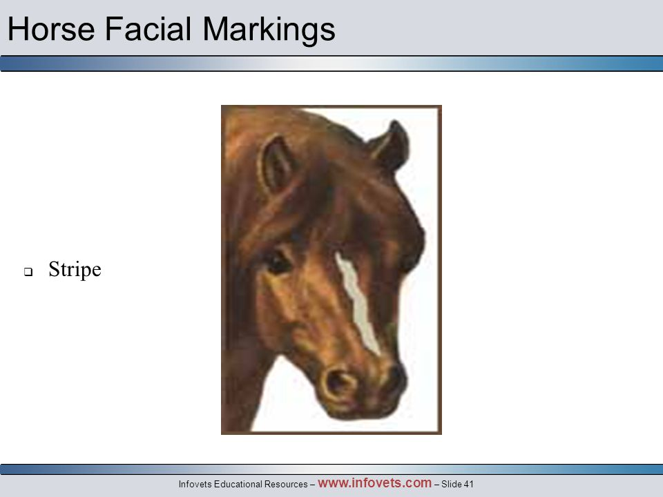 Infovets Educational Resources – www.infovets.com – Slide 41 Horse Facial Markings  Stripe