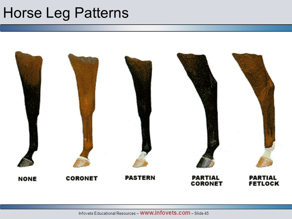 Infovets Educational Resources – www.infovets.com – Slide 45 Horse Leg Patterns