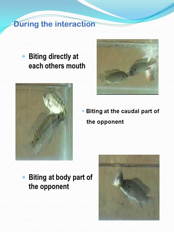 During the interaction Biting directly at each others mouth Biting at body part of the opponent Biting at the caudal part of the opponent