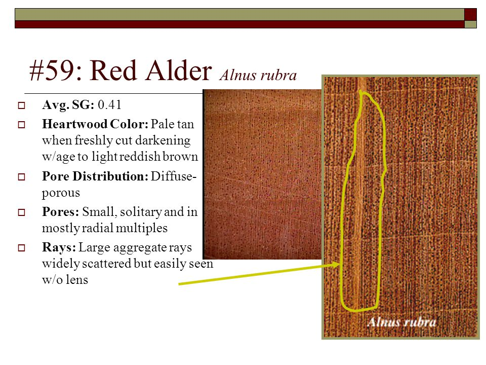 #59: Red Alder Alnus rubra  Avg. SG: 0.41  Heartwood Color: Pale tan when freshly cut darkening w/age to light reddish brown  Pore Distribution: Di